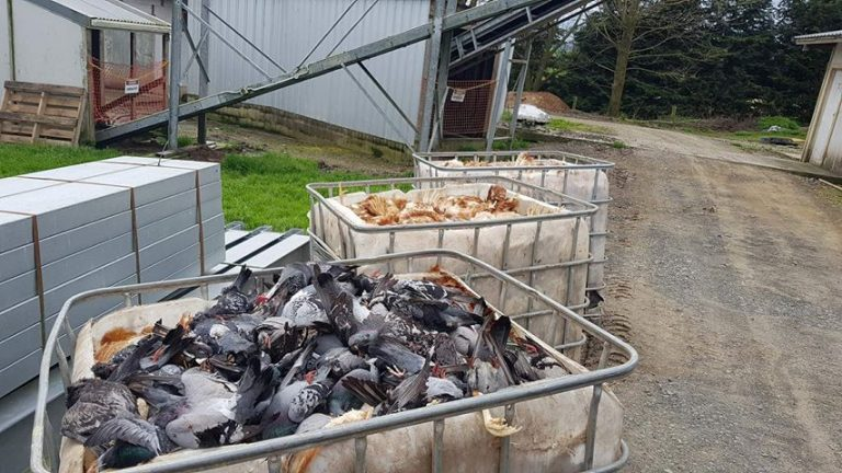 Birds causing problems in Waikato Bay of Plenty